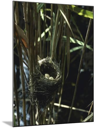 Close-Up of a Reedwarbler's Nest and Eggs (Acrocephalus Scirpaceus)-G^ Bellani-Mounted Photographic Print