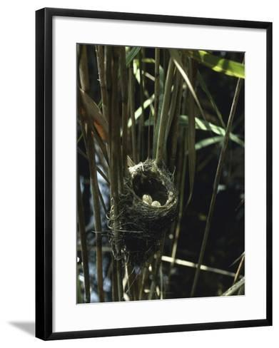 Close-Up of a Reedwarbler's Nest and Eggs (Acrocephalus Scirpaceus)-G^ Bellani-Framed Art Print