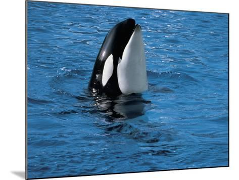 High Angle View of a Killer Whale in Water (Orcinus Orca)--Mounted Photographic Print