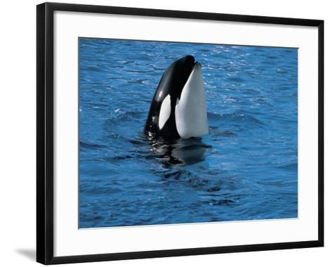 High Angle View of a Killer Whale in Water (Orcinus Orca)--Framed Art Print