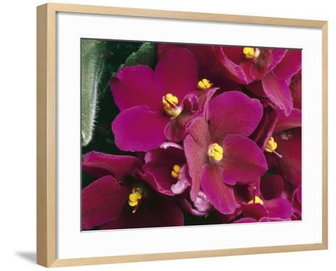 Close-Up of an African Violet Flower (Saintpaulia Ionantha)-C^ Dani-Framed Art Print