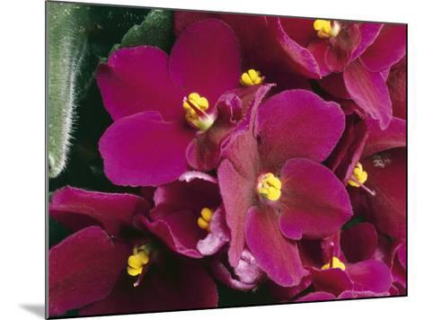 Close-Up of an African Violet Flower (Saintpaulia Ionantha)-C^ Dani-Mounted Photographic Print