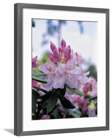Close-Up of Rhododendron Mrs--Framed Art Print