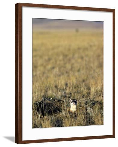 Black-Footed Ferret (Mustela Nigripes) in Grassland, Wyoming, Usa-Jeff Foott-Framed Art Print