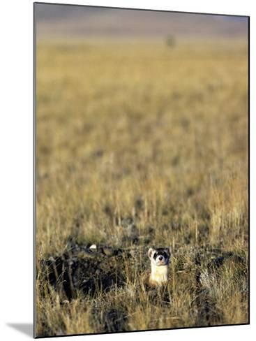 Black-Footed Ferret (Mustela Nigripes) in Grassland, Wyoming, Usa-Jeff Foott-Mounted Photographic Print