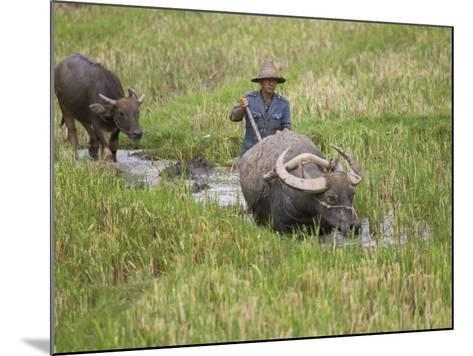 China, Yunnan Province, Farmer Ploughing with Water Buffalo in the Rice Paddy-Keren Su-Mounted Photographic Print