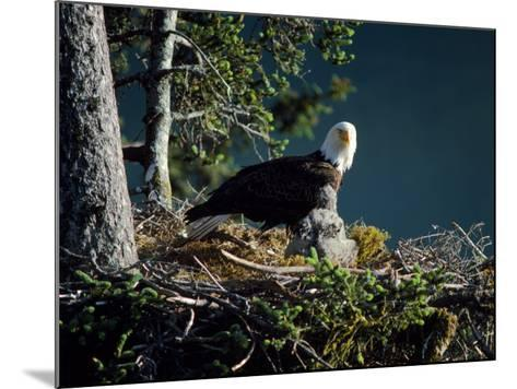 Bald Eagle with Chicks at Nest-Jeff Foott-Mounted Photographic Print