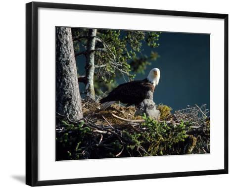 Bald Eagle with Chicks at Nest-Jeff Foott-Framed Art Print