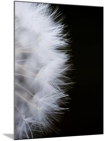Close-Up of a Dandelion Flower--Mounted Photographic Print