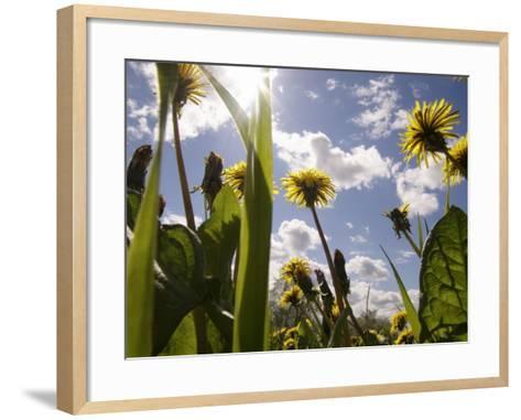 Dandelions, Sweden--Framed Art Print