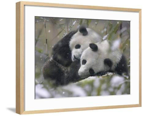 China, Sichuan Province, Wolong, Two Giant Pandas Sleep in the Bamboo Bush in Snow-Keren Su-Framed Art Print