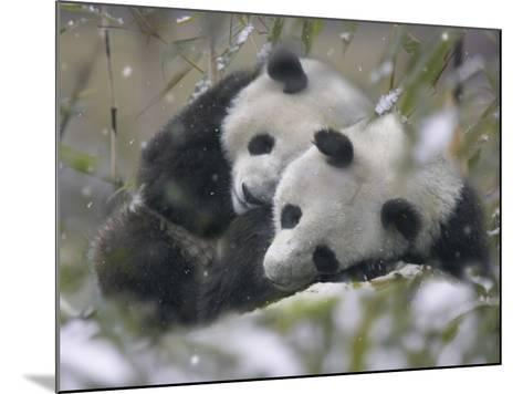 China, Sichuan Province, Wolong, Two Giant Pandas Sleep in the Bamboo Bush in Snow-Keren Su-Mounted Photographic Print