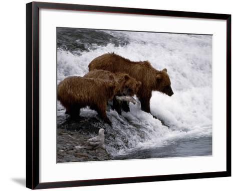 Grizzly Bear Mother Andyoung Hunting Fish-Jeff Foott-Framed Art Print