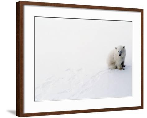 1st Year Polar Bear Cub Portrait (Ursus Maritimus) Canada-Jeff Foott-Framed Art Print