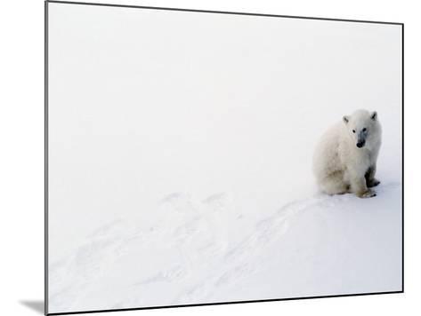 1st Year Polar Bear Cub Portrait (Ursus Maritimus) Canada-Jeff Foott-Mounted Photographic Print