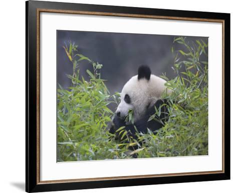 China, Sichuan Province, Wolong, Giant Panda Eating Bamboo in the Bush-Keren Su-Framed Art Print