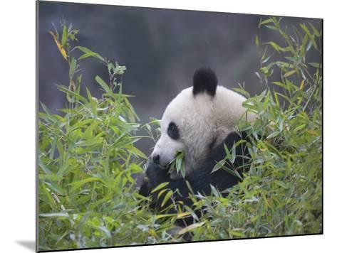 China, Sichuan Province, Wolong, Giant Panda Eating Bamboo in the Bush-Keren Su-Mounted Photographic Print
