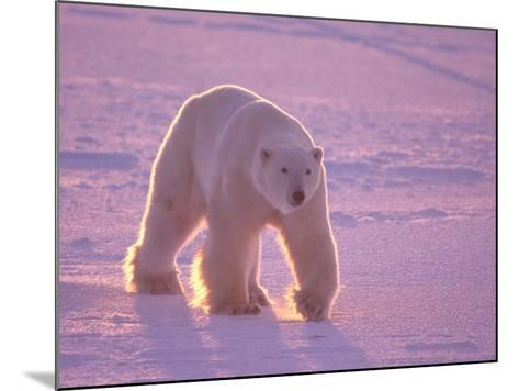 Male Polar Bear in the Morning Light-Jeff Foott-Mounted Photographic Print