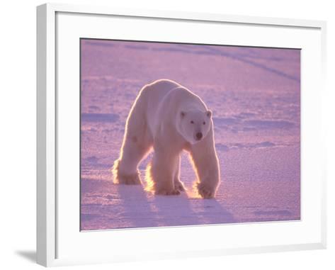 Male Polar Bear in the Morning Light-Jeff Foott-Framed Art Print