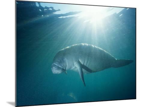 Manatee Underwater, Sunlight Filtering Through Surface-Jeff Foott-Mounted Photographic Print