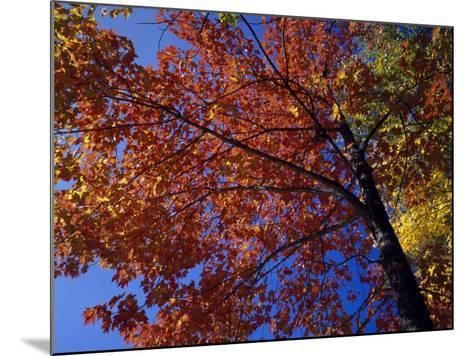 Autumn Color Sugar Maple Tree Foliage (Acer Saccharum), White Mountains National Park-Jeff Foott-Mounted Photographic Print