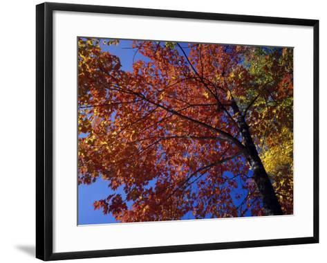 Autumn Color Sugar Maple Tree Foliage (Acer Saccharum), White Mountains National Park-Jeff Foott-Framed Art Print