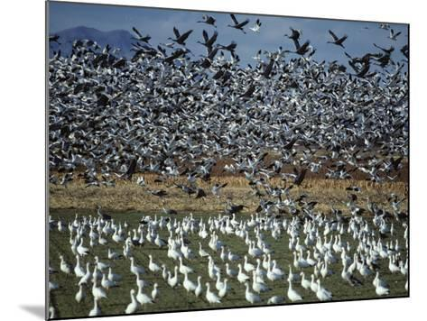 Snow Geese Taking Off from Field, New Mexico, Usa-Jeff Foott-Mounted Photographic Print