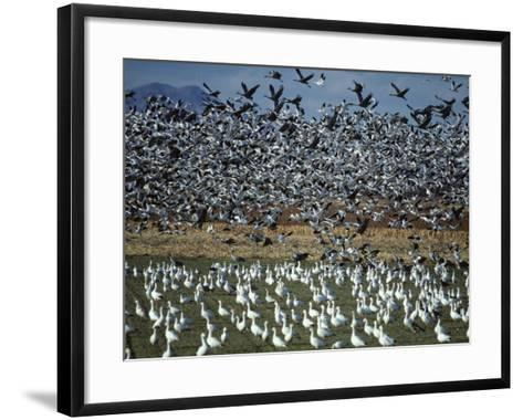 Snow Geese Taking Off from Field, New Mexico, Usa-Jeff Foott-Framed Art Print