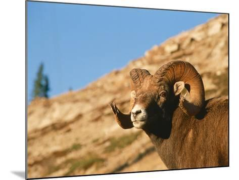 Bighorn Sheep Ram Stands on Hill-Jeff Foott-Mounted Photographic Print