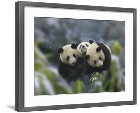 China, Sichuan Province, Wolong, Three Giant Panda Cubs in the Forest on a Snowy Day-Keren Su-Framed Art Print