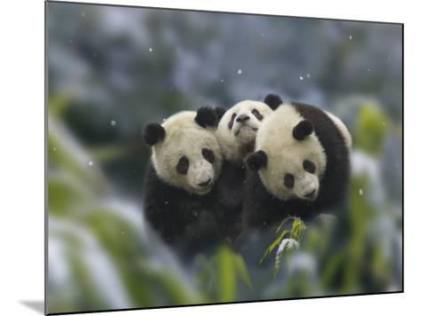 China, Sichuan Province, Wolong, Three Giant Panda Cubs in the Forest on a Snowy Day-Keren Su-Mounted Photographic Print