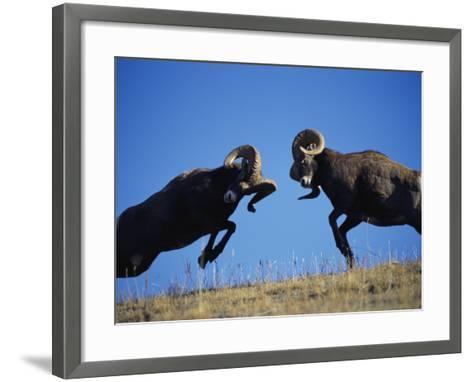 Rams Display Traditional Mating Season Behavior by Butting Heads-Jeff Foott-Framed Art Print