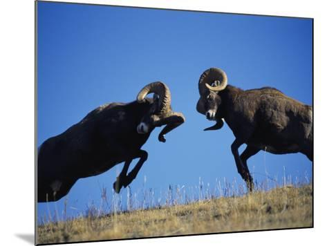 Rams Display Traditional Mating Season Behavior by Butting Heads-Jeff Foott-Mounted Photographic Print