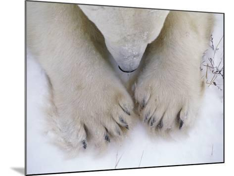 Detail of Polar Bear Paws and Nose-Jeff Foott-Mounted Photographic Print