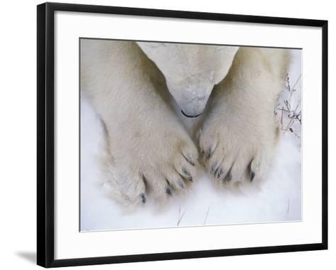 Detail of Polar Bear Paws and Nose-Jeff Foott-Framed Art Print