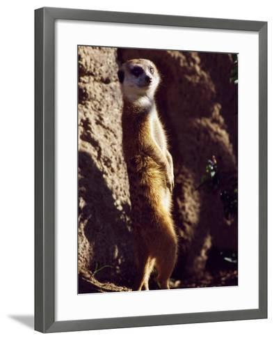 Meercat Stands on its Hindlegs-Jeff Foott-Framed Art Print