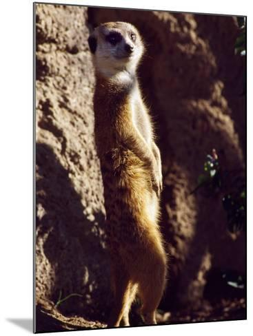Meercat Stands on its Hindlegs-Jeff Foott-Mounted Photographic Print