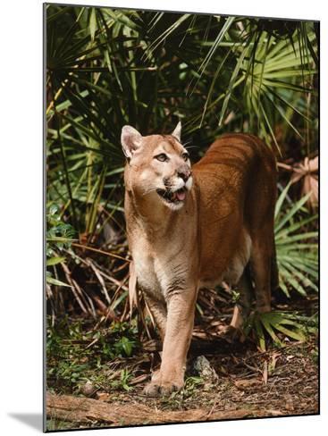 Mountain Lion Walks Through Leaves-Jeff Foott-Mounted Photographic Print