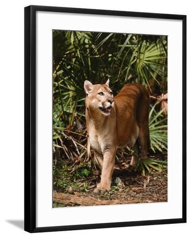 Mountain Lion Walks Through Leaves-Jeff Foott-Framed Art Print