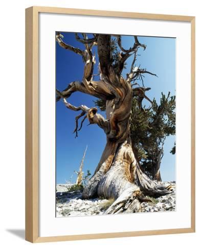 Bristlecone Pine, Ancient Tree-Jeff Foott-Framed Art Print