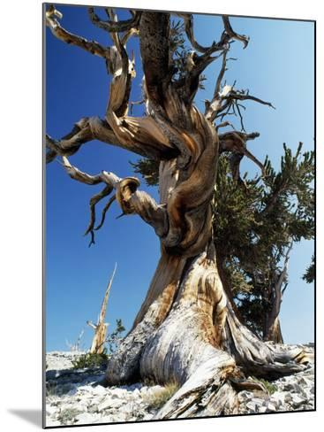 Bristlecone Pine, Ancient Tree-Jeff Foott-Mounted Photographic Print