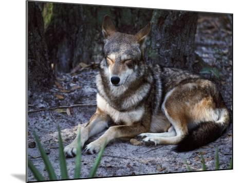 Red Wolf Sleeping (Canis Rufus)-Jeff Foott-Mounted Photographic Print