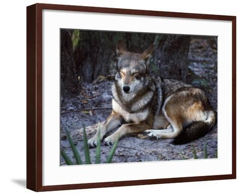Red Wolf Sleeping (Canis Rufus)-Jeff Foott-Framed Art Print