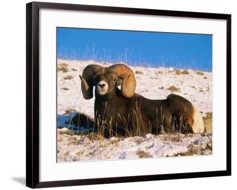 Bighorn Sheep Rests in the Snow-Jeff Foott-Framed Art Print