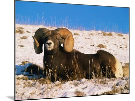 Bighorn Sheep Rests in the Snow-Jeff Foott-Mounted Photographic Print
