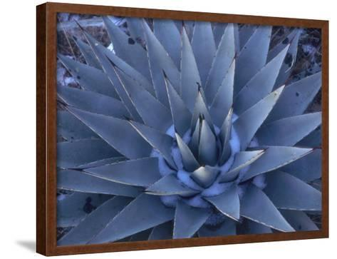 Detail of a Blue Agave in the Winter-Jeff Foott-Framed Art Print