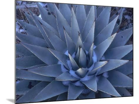 Detail of a Blue Agave in the Winter-Jeff Foott-Mounted Photographic Print