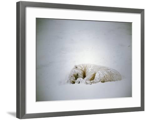 Polar Bear Sleeps in a Snowstorm-Jeff Foott-Framed Art Print
