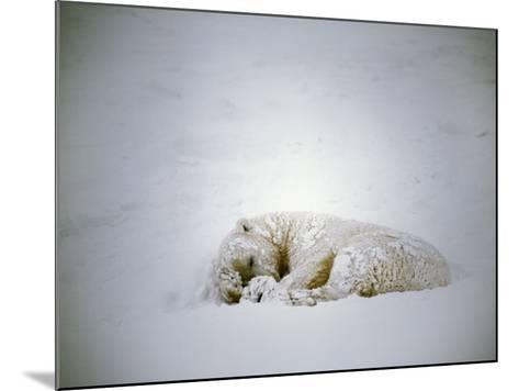 Polar Bear Sleeps in a Snowstorm-Jeff Foott-Mounted Photographic Print