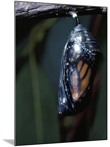 Monarch Butterfly in Chrysalis Stage-Jeff Foott-Mounted Photographic Print